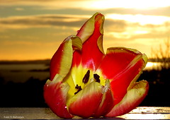 A tulip in the sunset! (Toini O Halvorsen) Tags: tulip flower sunset nature sky