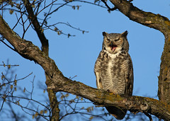 Great Horned Owl...#4 (time to wake up...) (Guy Lichter Photography - 3.7M views Thank you) Tags: owlgreathorned canon 5d3 canada manitoba winnipeg wildlife animals birds owl owls