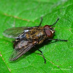 Pollenia sp (Carrie Williams_13) Tags: polleniasp pollenia fly diptera insect invertebrate invertedlens reverselens macro micro nikond3100 nikon flydayfriday hfdf