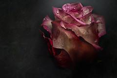 Shine (marcello.machelli) Tags: rose rosa macro novoflex nikon sigmaapomacro1508 nikond810 lightpainting chiaroscuro red dark scuro rauìy beam raggio luce roplets drops water acqua gocce
