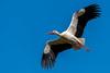 White Stork - Cegonha-branca - Ciconia ciconia (www.craigrogers.photography) Tags: stork whitestork soar fly flight bif birdinflight silves algarve cegonhabranca ciconiaciconia bird migrate feathers