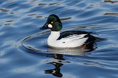 Common Goldeneye - Male (Frankyboy5) Tags: goldeneye commongoldeneye bucephalaclangula stanleypark lostlagoon duck