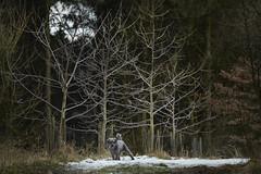 Benni 675 (Joerg Marx) Tags: hund bäume wald schnee winter dog trees forest dogscape light snow