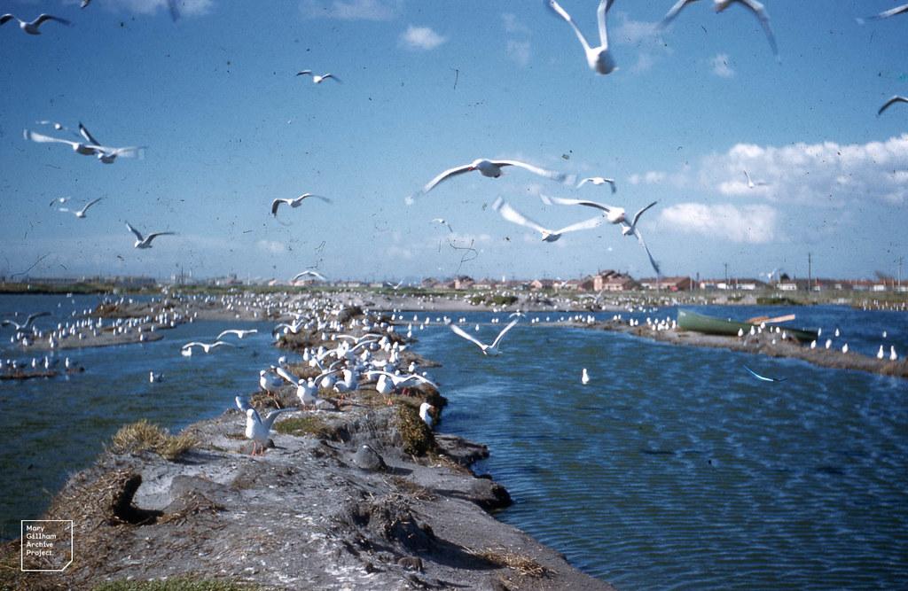 City gulls. Fishermans Bend, Melbourne 1958.
