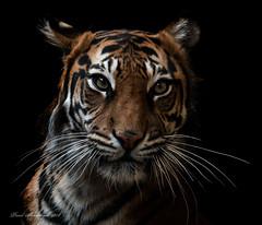 Sumatran Tiger - Female (explored ) (muppet1970) Tags: sumatrantiger tiger bigcat cat zoo captive london zsl zsllondonzoo