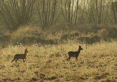 sarny (stempel*) Tags: pentax k30 gambezia polska poland polen polonia sarny animal roe deer para couple