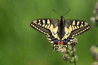 Swallowtail DSC_3647
