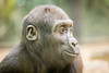 2018-01-19-13h55m58.BL7R8747 (A.J. Haverkamp) Tags: canonef100400mmf4556lisiiusmlens shae amsterdam noordholland netherlands zoo dierentuin httpwwwartisnl artis thenetherlands gorilla pobamsterdamthenetherlands dob21012016 nl