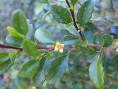 Turraea thouarsiana 4 (scott.zona) Tags: meliaceae