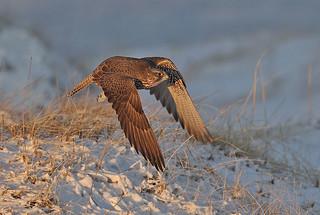 Fálki-Gyrfalcon-Falco rusticolus