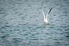 259-2 Mouettes rieuses Gabbiani Gulls 19.01.2018_DSC2880 (RenzoElvironi) Tags: bird blackheadedgulls gabbiani oiseau peschici uccello mouettesrieuses genève suisse