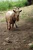 The Goat (gripspix) Tags: 20170619 goat zwergziege ziegenbock