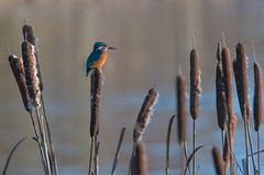 The King on his throne (Tim Melling) Tags: kingfisher alcedo atthis west yorkshire timmelling