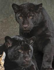 jaguar artis BB2A9049 (j.a.kok) Tags: jaguar jaguarcub jaguarwelp pantheraonca zwartejaguar blackjaguar rica artis animal southamerica zuidamerika mammal zoogdier dier kat cat predator