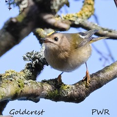 goldcrest (Paul Wrights Reserved) Tags: goldcrest lookingatthecamera bird birding birds birdphotography birdwatching perched perching leaning feathers closeup colour nature naturephotography
