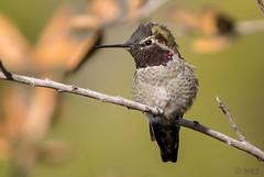 Anna's Hummingbird (MelRoseJ) Tags: sanrafael california unitedstates us lasgallinas sonyalpha sony sonyilca77m2 sal70200g nature northerncalifornia bayarea birds hummingbird a77ii alpha autofocus