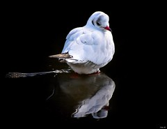 """""""Mirror, mirror on the wall""""! (Nina_Ali) Tags: leicester eveningshadow reflection nikond5500 birdreflection gull"""