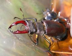 Beetle Mania........ (law_keven) Tags: catfordgardenjune2014 beetles insects bugs stagbeetles stagbeetle catford london england photography wildlife wildlifephotography