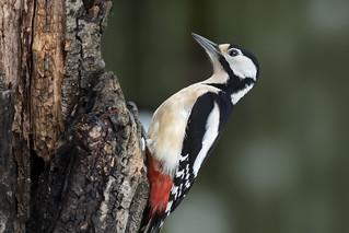 Picchio rosso maggiore. - Great woodpecker