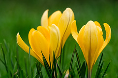 Crocus (OgniP) Tags: