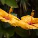 Yellow Hibiscus (Gumamela), taken in my garden