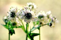 Pure Souls (barbara_donders) Tags: flowers bloemen wit white nature natuur bokeh puur mooi prachtig beautifull magical