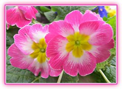 Primula Pink (bigbrowneyez) Tags: flickrflowers pretty gorgeous pink closeup fabulous primula passionate beautiful tricolour lovely frame cornice nature natura bello bellissimo striking stunning macro primulapink