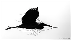 Great Blue Heron In Silhouette (pandatub) Tags: ebparks ebparksok bird birds shadowcliffs heron greatblueheron silhouette