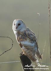 Barn Owl (www.Martin Basson Wildlife Photography.co.uk) Tags: barnowl birds norfolkwildlife wildlife