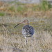 European Curlew