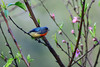 紅胸啄花Fire-breasted Flowerpecker (UG Tsai) Tags: birds 鳥 動物 花鳥圖