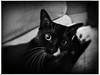 High Five! (Creepella Gruesome) Tags: gomez animal feline cat kitten tuxedocat blackandwhite iphone6splus hipstamatic