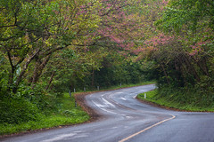 Cherry Blossom and Curved Road. (baddoguy) Tags: adventure backgrounds beauty in nature bent boundary cherry blossom chiang mai province color image copy space country road curve discovery empty flower forest green highway horizontal bloom journey landscape majestic mountain national park natural condition no people outdoors photography pink rural scene sshape sakura chiba season sign springtime street thailand tourism transportation travel destinations tree tunnel vacations