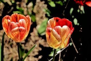 Toronto Ontario ~ Canada ~ Edwards Gardens ~ Botanical Garden  -  Rembrandt Tulip