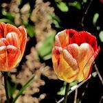 Toronto Ontario ~ Canada ~ Edwards Gardens ~ Botanical Garden  -  Rembrandt Tulip thumbnail