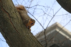 212/365/3499 (January 9, 2018) - Squirrels in Ann Arbor on a Winter