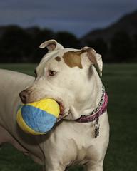 3253 Dolly (greyhound rick) Tags: pitbull pitbullmix nikon nikkor portrait dogportrait petportrait park granadapark strobist flash photoshop lightroom sb800 phoenix phoenixaz arizona dogrescue pocketwizard