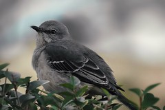 Pretty little Mockingbird (AngelVibePhotography) Tags: wildlife northcarolina outdoor nikon outdoors closeup beautiful animals feathers nature raleighnc mockingbird photography bird animal macro mockingbirds birds bokeh grey nikonp900 northernmockingbird depthoffield