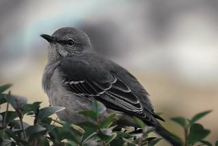 Pretty little Mockingbird