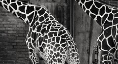Double pattern (frankdorgathen) Tags: animal fauna giraffe texture pattern skin monochrome blackandwhite zoo köln cologne rheinland closeup