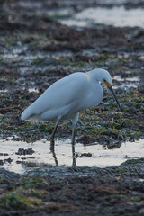 IMG_2894 (armadil) Tags: mavericks beach beaches californiabeaches bird birds egret snowyegret