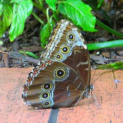 Key West (Florida) Trip 2017 7272Ri sq (edgarandron - Busy!) Tags: florida keys floridakeys keywest butterflyhouse keywestbutterflyandnatureconservatory