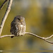Collared Owlet (Glaucidium brodiei)
