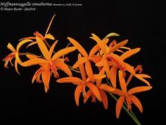 Hoffmannseggella cinnabarina (Bateman ex Lindl.) H.G.Jones (Mauro Rosim) Tags: orchid orquídea flower flor rupícola rupicolous