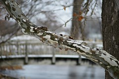 the sycamore in winter (humbletree) Tags: ohlbrich gardens madisonwisconsin sycamore tree a7rii pentaxm 75150f4