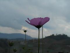 Délicatesse florale (Paradiperdu) Tags: fleurs ciel nature nuages paysages thaïlande