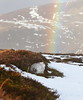 Rainbow Shelter-er (blootoonloon1( No to Badger Cull)) Tags: rainbow colours nature wildlife animal hare mountainhare winter white snow heather scotland highlands cairngorms