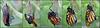 Monarch emerging from the chrysalis (Foto Martien) Tags: monarchbutterfly wanderer monarchvlinder monarchfalter amerikanischemonarch mariposamonarca borboletamonarca monarque danausplexippus chrysalis pupa pop caterpillar rups transformation haemolymph eclosing emerging butterfly vlinder papillon mariposa schmetterling insect wings passiflorahoeve zorgboerderij zorginstelling harskamp veluwe dutch netherlands nederland holland slta77v a77v sonyalpha77 a77 slt minoltamacro100mm28mm macrophoto macrofoto macro macroopname sonyilca77m2 sonyalpha772 alpha a77m2 fotomartien martienuiterweerd 21millionviews