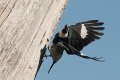 DSC_5799.jpg Acorn Woodpecker, Twin Lakes (ldjaffe) Tags: acornwoodpecker schwanlake twinlakes