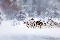 Dog Sledding in Tirol (JTrojer) Tags: pillerseetal fifwalk hunde tirol trojer austria photowalk dogshoot fotowalk pillersee kitzbühleralpen schlittenhundecamp sled dog fif fotografieinnfokus jtrojercom dogsled